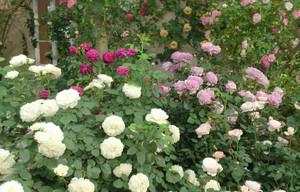 バラがいっぱい